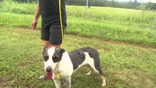 Foster/adopt: Matty The Cattle Dog Mix