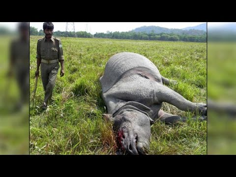 Rhino killed in Kaziranga National Park, horn removed