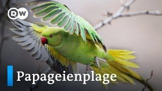 Papageienplage in Spanien   Fokus Europa