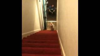 ズボンが嫌すぎて変な方法で階段を降りちゃうワンコ