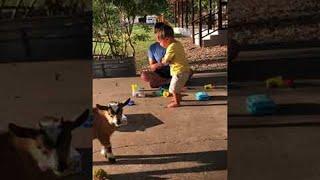Goat Roughhousing    ViralHog