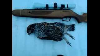Airgun hunting, hazel-grouse.