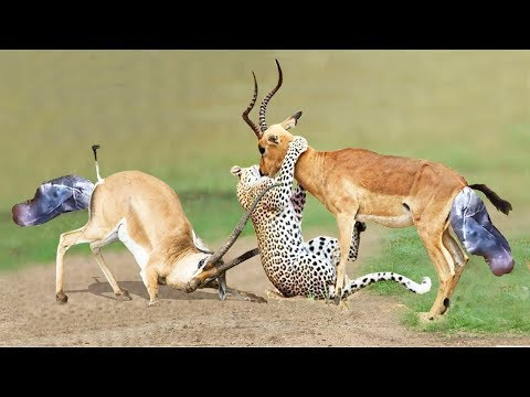 Impala Giving Birth: Mother Impala Don't Protect Newborn From Leopard Hunting