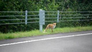 FOX (kitsune) in hokkaido niseko panorama-line きつね 北海道ニセコ...