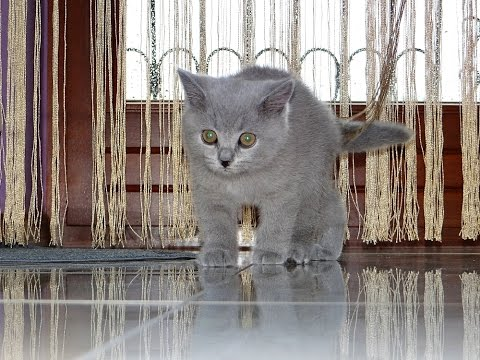 3-month-old british shorthair kitten KIMI | First time at home
