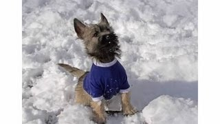Cairn Terriers Playing In The Snow