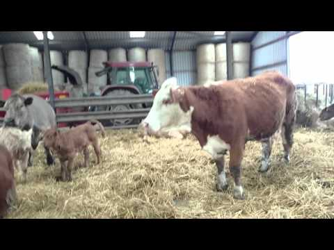 New Simmental Bull 1