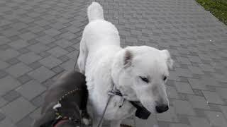 Как пройти стаю собак