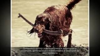Ирландский красный сеттер Крупные породы собак