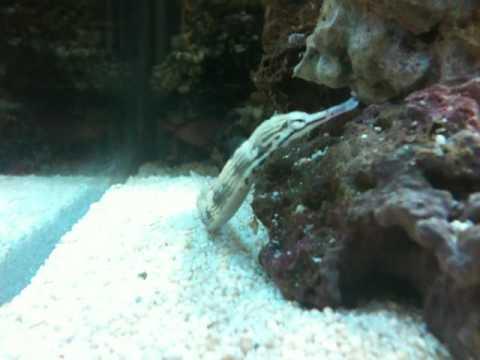 Dragonface Pipefish (Corythoichthys Sp.)