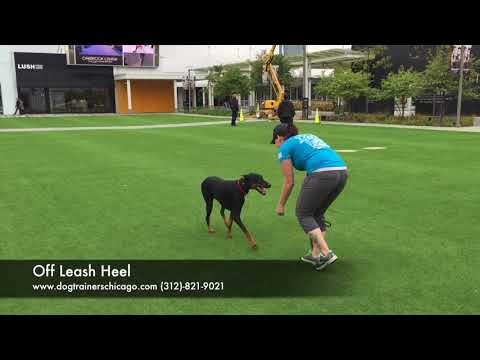 Dog Training: 1 year old Doberman Pinscher, Radar! Before/After 2 week Board and Train!