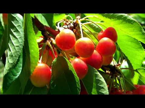 Bing and Ranier Cherries at Lopez Ranch, Brentwood, CA