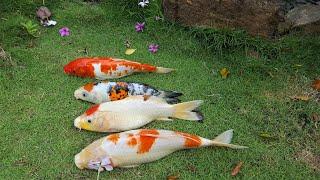 Cá Koi bị rận nước, trùng mỏ neo - Cách trị rận nước, trùng mỏ neo trên cá Koi