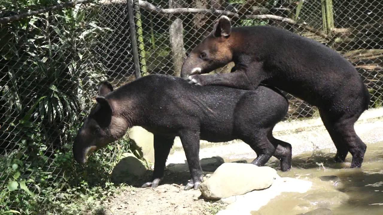 Shaggin Tapirs - YouTube