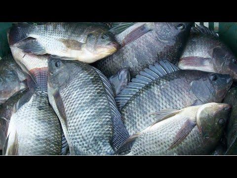 Video como criar mojarra tilapia sexado for Criar tilapias en estanques