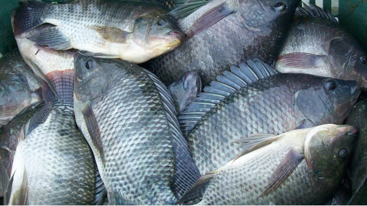 Curso cria o de til pias cursos cpt youtube for Construccion de estanques para tilapia