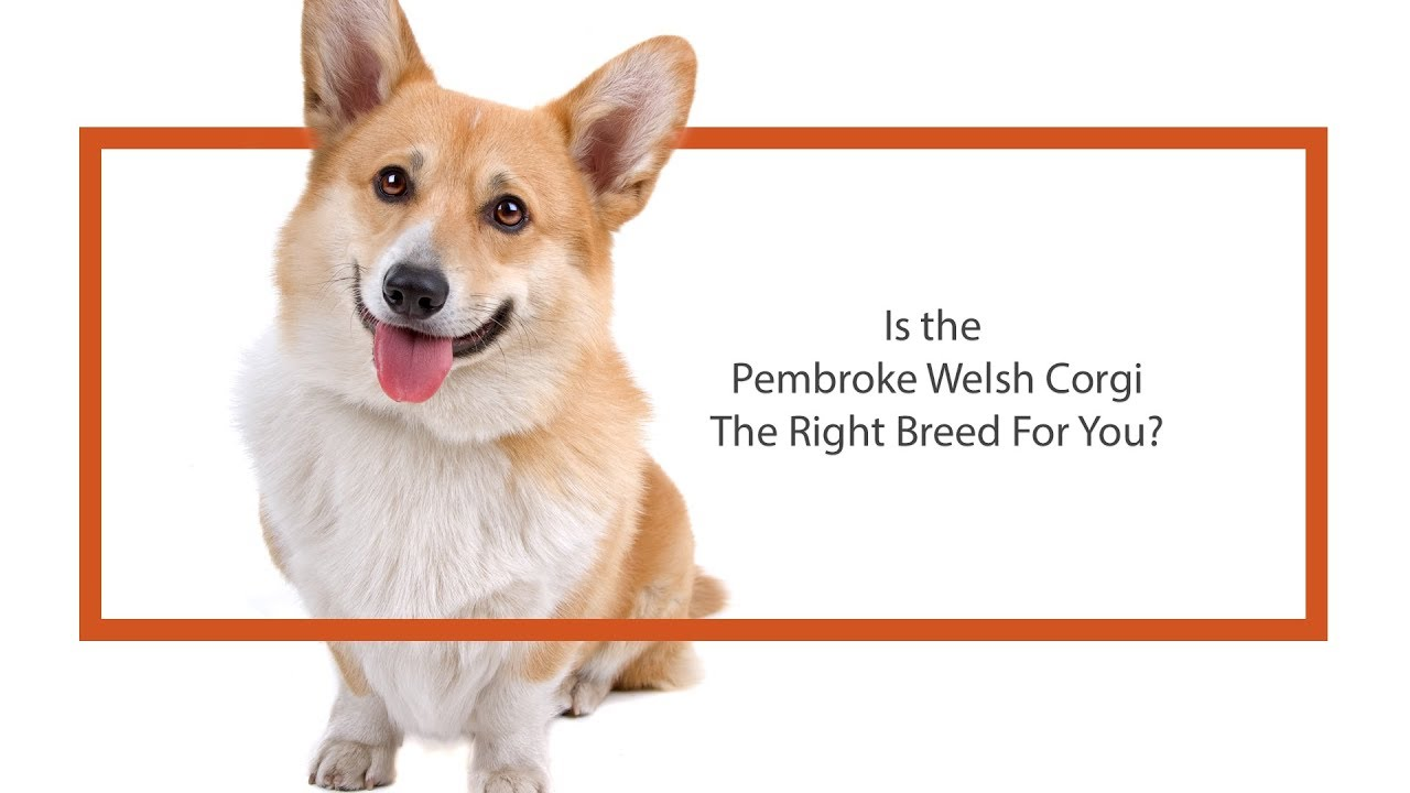 Pembroke Welsh Corgi Puppies   Monroeville, PA   Petland