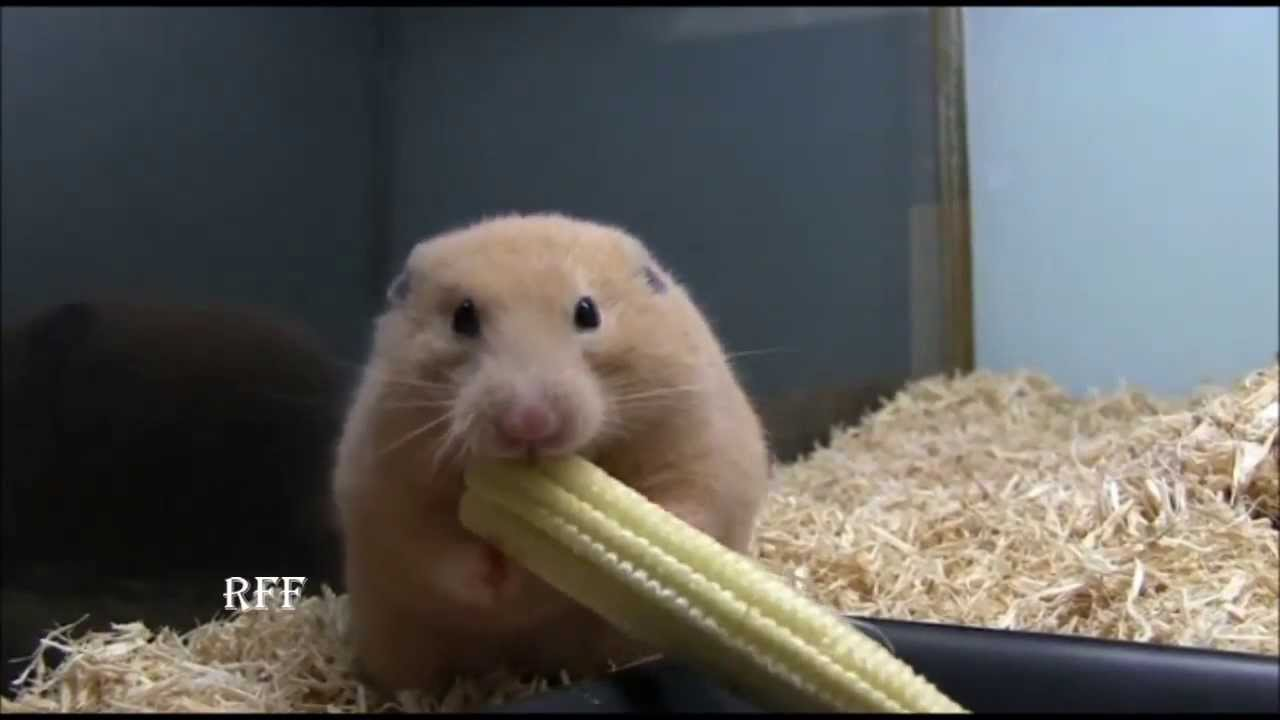 Weird hamster shoves whole corn on the cob in cheek for Criceti dorati