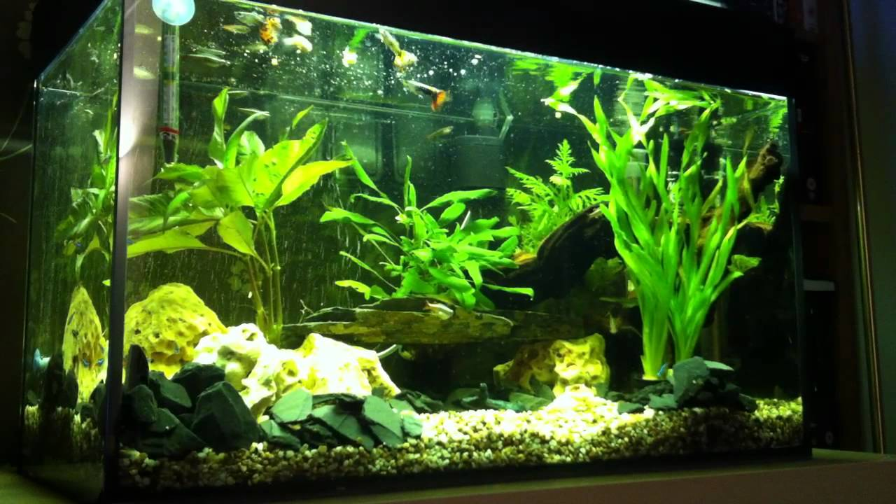 Fish for 60l aquarium 60l tropical fish tank youtube for Youtube fish tank
