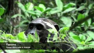 chimpanzees at mahale mountain and gombe national park