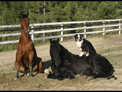 Easy -  2007 Friesian Arab X Gelding For Sale