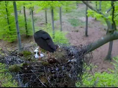 Black Storks Belgium - Stork killed one of its three chicks 2012.05.12.