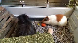 New guinea pig settling in with old one