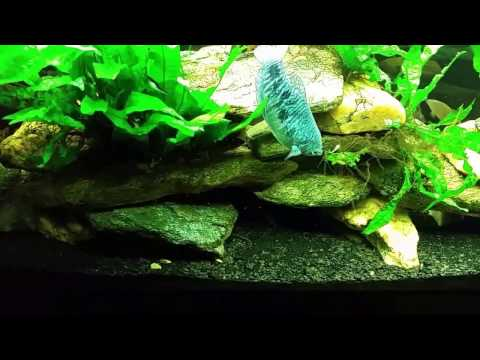 Drip Acclimating & Adding Farlowella (Twig) Catfish To My 75g Planted Tank from YouTube · High Definition · Duration:  2 minutes 44 seconds  · 888 views · uploaded on 4/2/2015 · uploaded by The Southern Aquarist