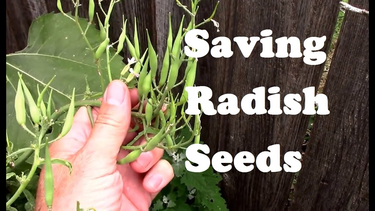 Saving Radish Seeds For Planting From Flowering To Collecting