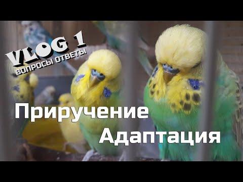 📚 ✉ Адаптация и приручение волнистого попугая. Попугай не ест в первые дни!
