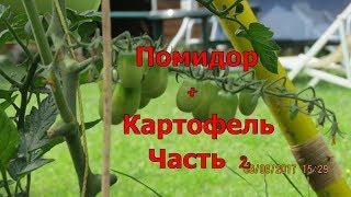 картошка +с помидорами.Прививка томатов на картофель. 2.