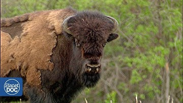 Wild buffalo in Wood Buffalo National Park - Full Documentary