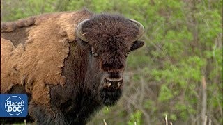 Wild buffalo in Wood Buffalo National Park - Full Documentary