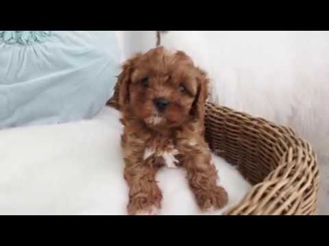 Gigi's Toy Cavoodle Boy B - Pocket Puppies