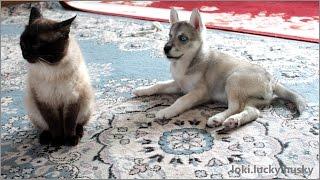 Маленький Хаски по имени ЛОКИ и Сиамский кот Максим.