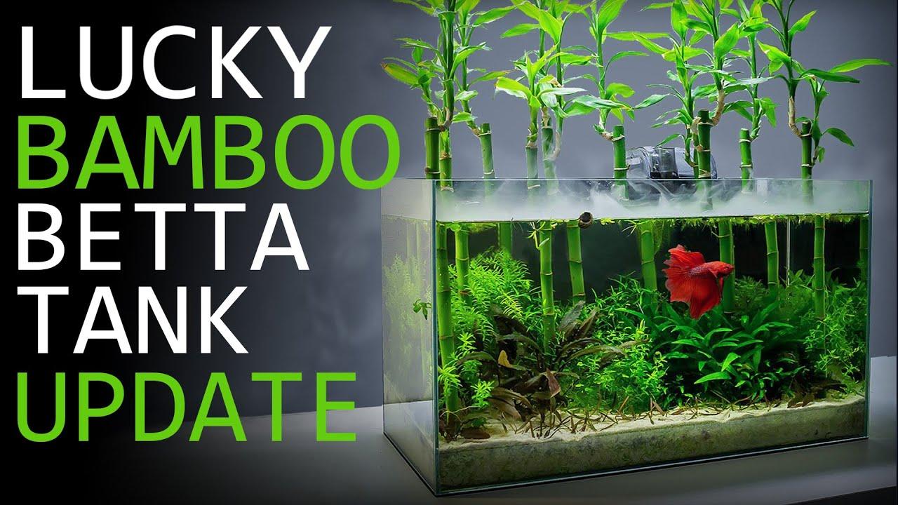 Maintaining A Lucky Bamboo Betta Aquarium 3 Month Update Youtube