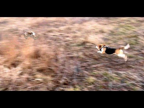Skyview's Beagles Rabbit Hunting Northern WV Beagle Club FUn Run