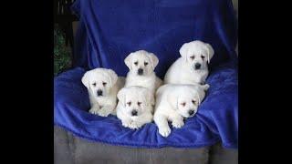 Polar Bear Lab Puppies