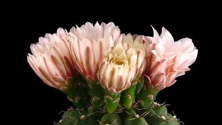 Pink Cactus Buds Opening and Closing Stock Video