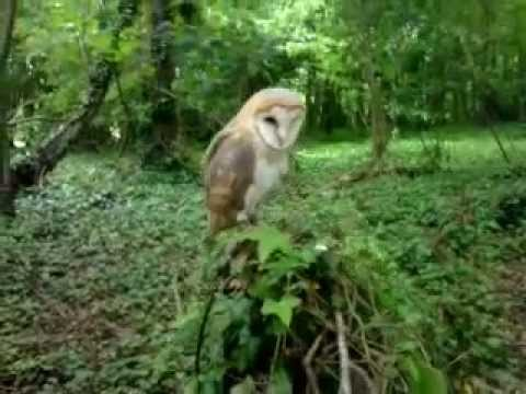 angel the barn owl in the woods