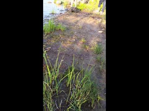 Mallard Lake Illinois Muskie