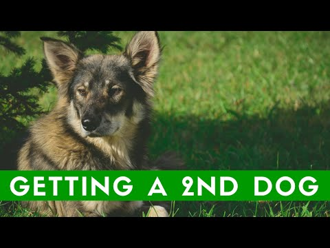 Should You Get A Second Dog?