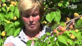 Как вырастить абрикосы  Зимостойкие абрикосы