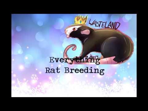 Everything Rat Breeding: Eps 1: Set ups