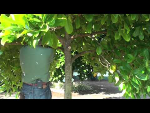 Pruning Jackfruit
