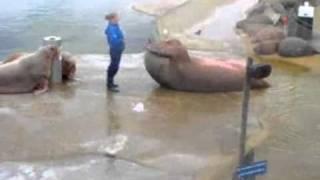 Морской лев - спортсмен качает пресс