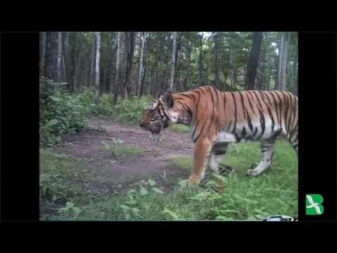 ประเทศไทย: เชื่อว่าจำนวนประชากรเสือโคร่งกำลังเพิ่มขึ้น