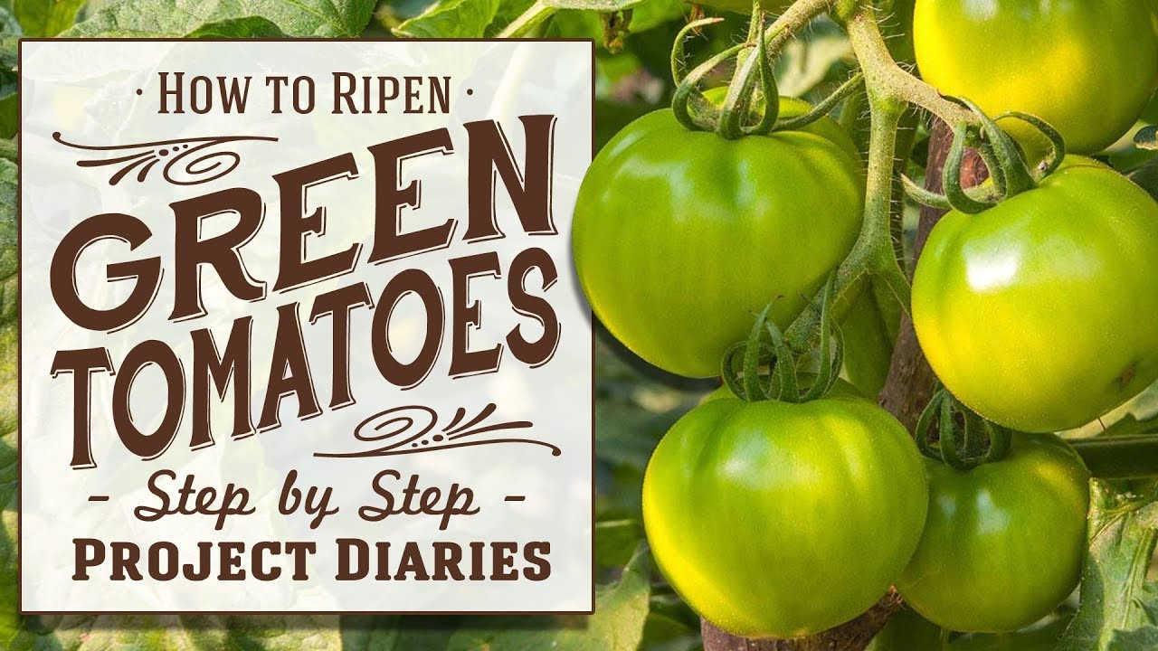 how to ripen green tomatoes a full information video youtube. Black Bedroom Furniture Sets. Home Design Ideas