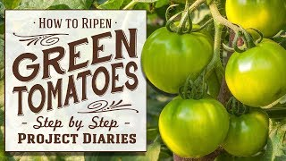 ★ How to: Ripen Green Tomatoes (A Full Information Video)