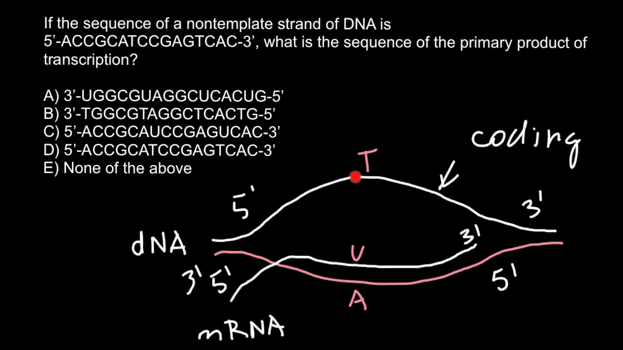 Template And Coding Strands Of Dna